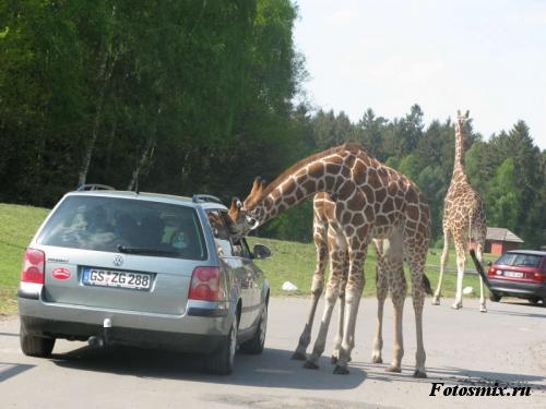 Наглые жирафы